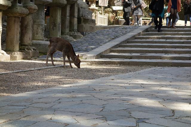 Shika no Tsunokiri, la tradición de Nara